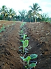 Plantation de vitroplants de bananiers