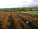 Vitroplants de bananiers fraîchement plantés