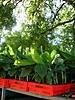 Vitroplants de bananiers prêts à être plantés