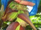 Gros plan sur les bananes en formation dans une fleur de bananier