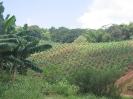 Jeune plantation de bananiers