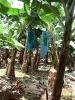Dans les bananeraies les régimes de bananes sont protégés des insectes par des sacs