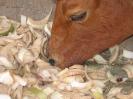 Alimentation bovine