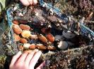 Casier de petites coquilles saint jacques en grossissement