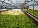 Culture hydroponique de salades